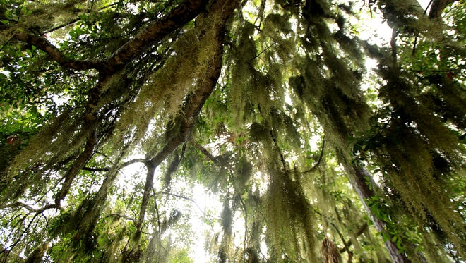 Neither Spanish nor moss, Spanish moss is one of the South's most interesting plants.