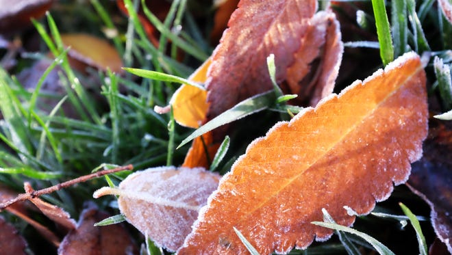 Frost graces these fallen leaves on a still green Salinas lawn.