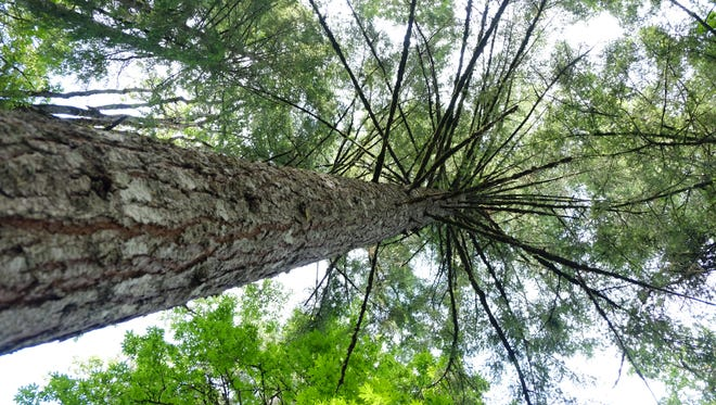 A look up into the canopy at Zena Forest. The company is offering public tours this summer with a look at the company's forest management practices and operations.