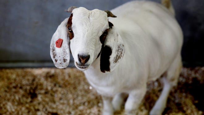 A goat peers from being it's pen as Dairy cows, sheep, horses, pigs and other animals arrived with their owners at the Wisconsin State Fair, Wednesday, August 3, 2016. Youth were getting the animals ready for judging competition that begins tomorrow. The Wisconsin State Fair runs from August 4-14 in West Allis, Wisconsin.