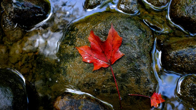 A fallen leaf rests on a rock in the Pine River Thursday, Oct. 6, 2016 at the Pine River Nature Center.