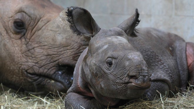 The as yet unnamed baby greater one horned rhino rests with its mother in it's pen at the Wilds recently. The baby was born on Nov. 11.