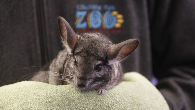 Sam Short, an educator at Columbian Park Zoo, holds a chinchilla Sunday, Jan. 8, 2017, during an education program at the zoo.