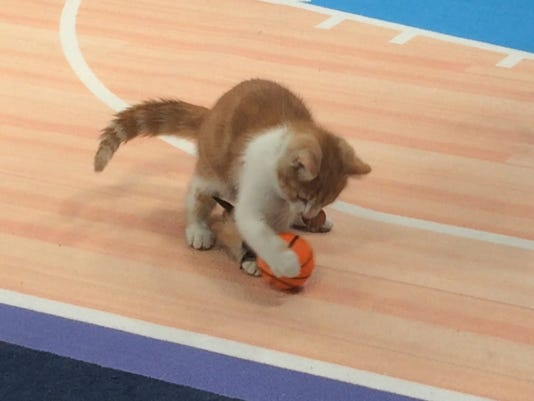 "In this Jan. 26, 2017, photo, a cat plays on a mock basketball court, which was set up for Hallmark Channel's ""Meow Madness"" television show, at a soundstage in New York. Watch out Villanova and Kentucky (and Arizona and Northwestern), there's a new set of cats going wild for March Madness.Time for Meow Madness, coming in April. Buoyed by the success of the Kitten Bowl, the Hallmark Channel is debuting a new show hosted by Beth Stern that will air on Monday April 3, the same day as the NCAA men's basketball national championship game. (AP Photo/Doug Feinberg)"
