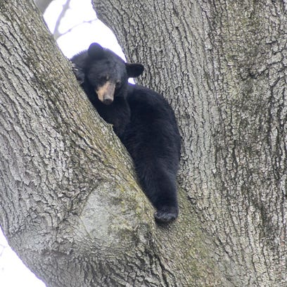 A black bear sits in a tree in the backyard of a home