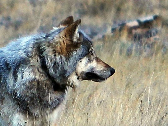 A Senate committee has advanced two house bills that would make wolf hunting licenses cheaper.