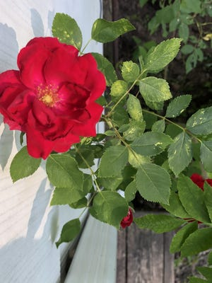 A rose strives for sunlight and, for the next few days, will find it in abundance.