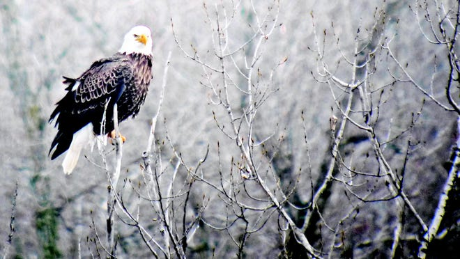 Bald eagles flock to the Wisconsin River during Bald Eagle Watching Days in Prairie du Sac.