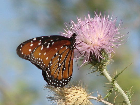 Monarch's under and upper wings have orange as their main base color.
