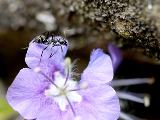 An ant washes its antennae on a purple flower growing
