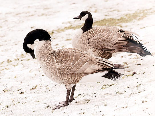 A couple of Canada Geese seem to take the snowfall