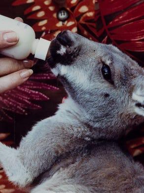 1991: Trooper, a baby kangaroo, gets fed by caretaker Lynda Dring at the Great Adventure Safari.