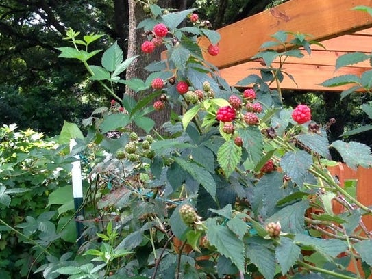 Stay out of the bramble with thornless blackberries