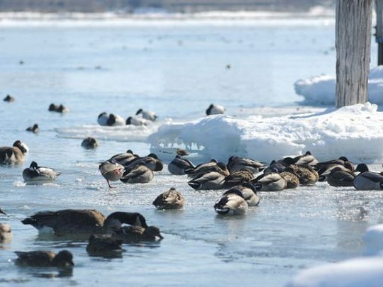 Ducks sit on a shelf of ice Feb. 23, 2015, along the St. Clair River in Port Huron.
