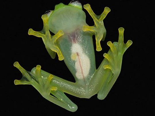 You can see the frog's internal organs.