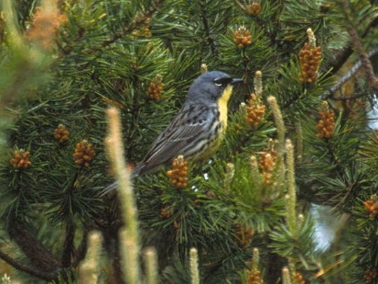 The Kirtland's warbler lives only in young stands of jack pine.