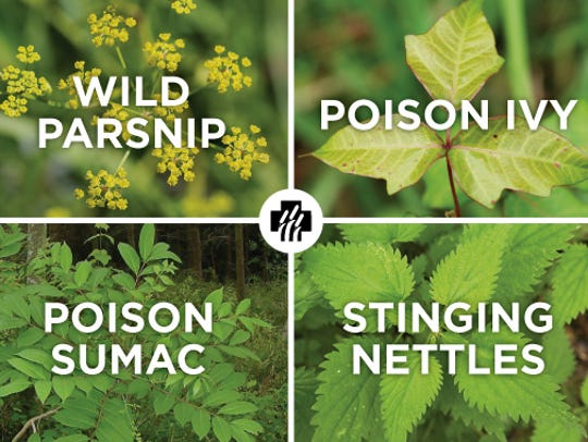 Popular poisonous plants in central Wisconsin