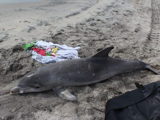 A dead bottlenose dolphin at the north end of the Ocean City, New Jersey, boardwalk area.