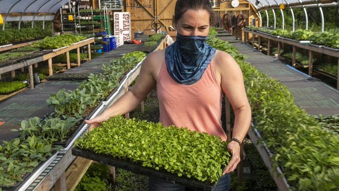 In this Thursday, May 28, 2020 photo Jamien Richardson moves a tray of baby arugula in a crop house at Spear Spring Farm in Warren, Maine. Spear Spring is one of many farms that have seen an uptick in the number community supported agriculture shares sold to customers, most likely as a result to the coronavirus pandemic.