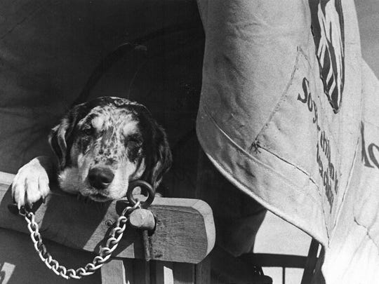 Sadie rests along the trail to Burkburnett as part of the Texas Bicentennial Wagon Train. This photo appeared in the Feb. 10, 1976, Times Record News.