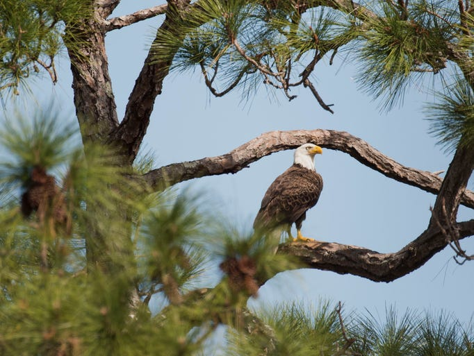 A bald eagle keeps watch over a nest, home to two eaglets,