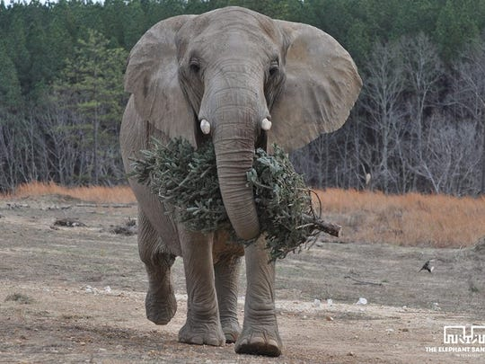 African elephant Sukari, who resides at The Elephant Sanctuary in Hohenwald, carries a tree with her trunk, chewing the bark as she walks. The tree was donated along with 500 others during the recent collection campaign.