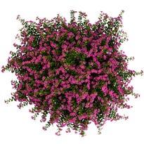 The Hoosier Gardener: New annuals for this year's garden
