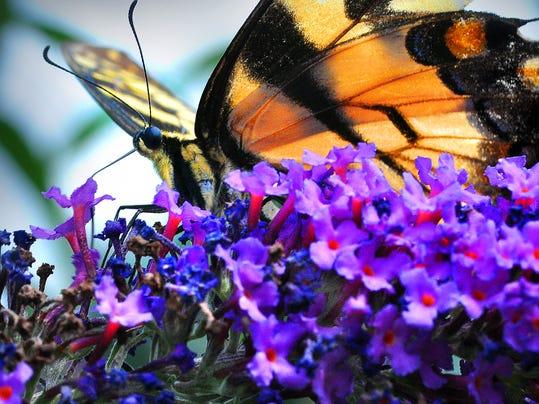 yellow-swallowtail.jpg