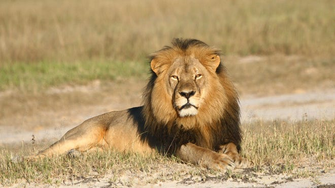Cecil the lion rests in Hwange National Park in Hwange, Zimbabwe.