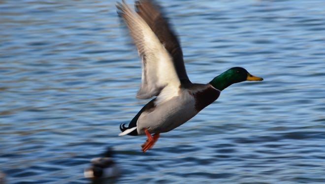 The mallard is the most common duck that resides in Pennsylvania.