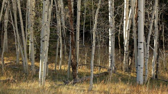 Aspens grow alongside meadows on the scenic drive of