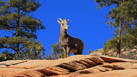 A young bighorn sheep watches traffic along state Route 9 on the east side of Zion National Park from a sandstone perch.