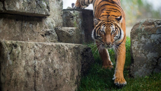 Arya in her habitat in Zoo Knoxville's Tiger Forest.