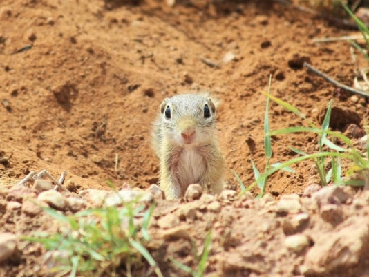 636241387301632678-13-lined-Ground-Squirrel.jpg
