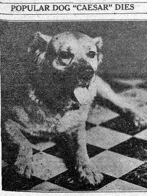 When Caesar, a giant Newfoundland / Mastiff, died in 1934, the beloved pet of the community earned a front page, two-column eulogy from the Mesa Journal Tribune.