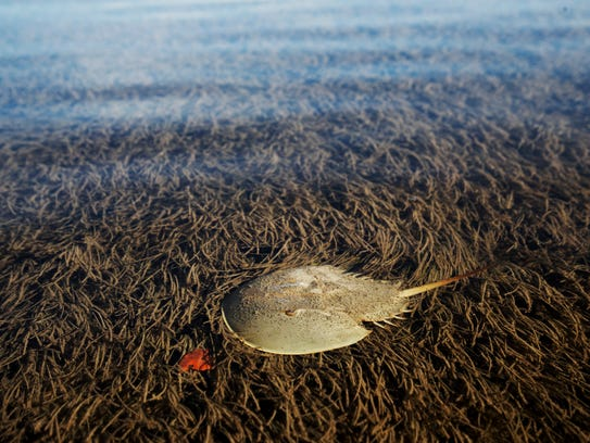 A horseshoe crab scoots through the shallows on the