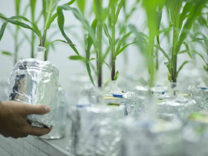 Genetically modified corn plants grow as part of a comparative tests of genetically modified plants and plants that are not altered in a laboratory in the Institute of Biology at the Humboldt University of Berlin.