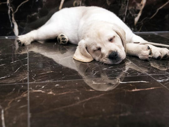 Harbor, an 8-week old labrador retriever, takes a nap during a news conference at the American Kennel Club headquarters in New York. New dog owners can expect to shell out $1,200 to $2,000 in the first year, and as much as $14,500 over their pup's lifetime, according to the American Society for the Prevention of Cruelty to Animals. And that's just for routine costs.