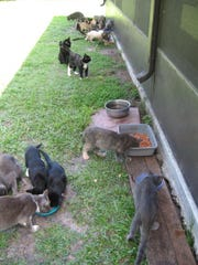 The Space Coast Feline Network does its best to give feral cats a long life.