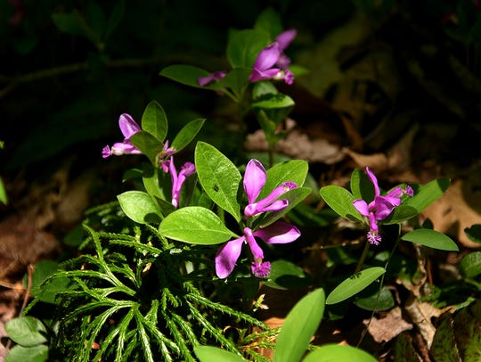 Fringed polygala is one of many wildflowers that bloom