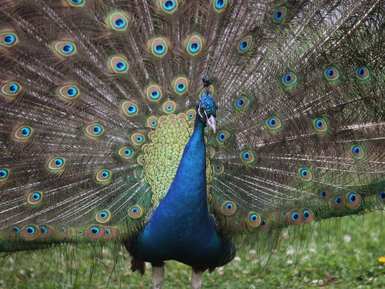 A peacock at a farm in Alton. A peacock was the victim Tuesday of a shooting in Parma, resulting in multiple charges.
