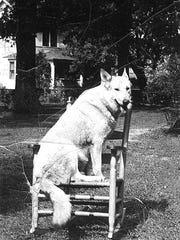 Pal, a white German Shepherd owned by Bub Tyson, is seen here in a yard along Dougherty Street.