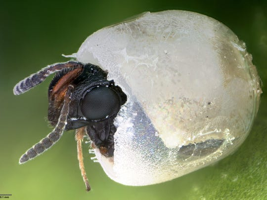 An emerging Samurai wasp is coming out of a stink bug egg.