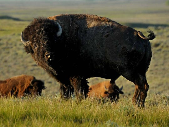 A small bachelor group of bison bulls graze the American Prairie Reserve's Sun Prairie Bison Range, May 18, 2015, north of the Missouri River and Charles M. Russell National Wildlife Refuge in northeastern Montana.  Through private funding and land leases with the BLM, the American Prairie Reserve has created a 31,000 acre bison range for their herd, which is expected to top 500 animals this year.