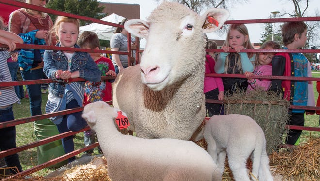 University preschool students try to reach a ewe and her lambs to pet during Ag Day 2017.