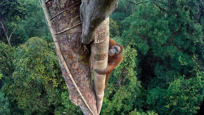 Tim Laman won the overall Wildlife Photographer of the Year 2016 competition with this picture, 'Entwined Lives.'