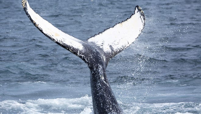 A juvenile humpback whale thrusts its flukes out of the water on the Stellwagen Bank off the coast of Provincetown, Mass.