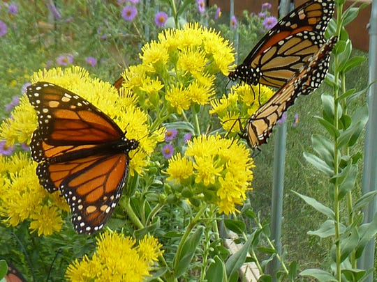 "Monarch butterflies gather nectar inside the ""butterfly house"" at Butterfly Gardens of Wisconsin near Appleton."