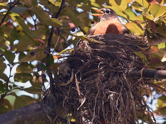 A robin sits on its nest to warm its hatchlings on a recent cool morning.