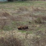 The mayor of Whitney Point took this photo of a loose bull after it was tranquilized.